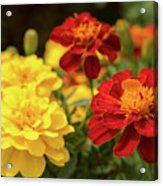 Tagetes Patula Fully Bloomed French Marigold At Garden In Octob Acrylic Print