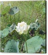 White Lotus Flower Flower Lotus Nature Summer Green Plant Blossom Asian Acrylic Print