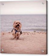 York Dog Playing On The Beach. Acrylic Print
