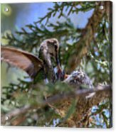 7311 Tilted Nest Feeding Acrylic Print