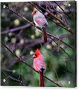 7440-008 Cardinal Acrylic Print