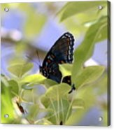 7759 - Butterfly Acrylic Print