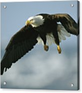 An American Bald Eagle In Flight Acrylic Print
