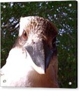 Australia - Kookaburra Stickybeak Acrylic Print