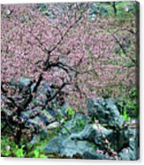 Blossoming Peach Flowers In Spring Acrylic Print