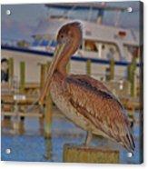 8- Brown Pelican Acrylic Print