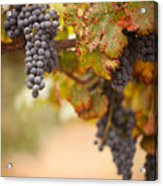 Grapes On The Vine Acrylic Print by Andy Dean