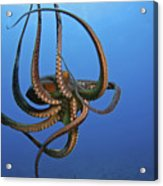 Hawaii, Day Octopus Acrylic Print