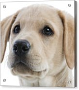 Labrador Puppy Acrylic Print
