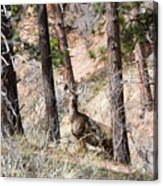Mule Deer In The Pike National Forest Of Colorado Acrylic Print
