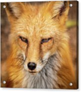 Russian Red Fox Acrylic Print