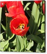 Tulip Acrylic Print