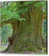 800 Years Old Oak Tree  Acrylic Print by Heiko Koehrer-Wagner