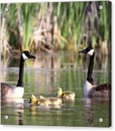 8132 - Canada Goose Acrylic Print