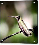 8181-001 - Ruby-throated Hummingbird Acrylic Print