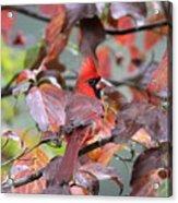 8623-001 - Northern Cardinal Acrylic Print