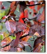 8624-001 - Northern Cardinal Acrylic Print