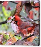 8627-002 - Northern Cardinal Acrylic Print