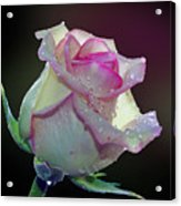 Nice Rose Acrylic Print