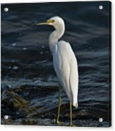 89- Snowy Egret Acrylic Print