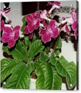 African Violets  Acrylic Print