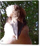Australia - Kookaburra I'm Looking At You Acrylic Print