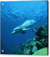 Bottlenose Dolphin Tursiops Truncatus Acrylic Print