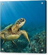 Green Sea Turtle Acrylic Print