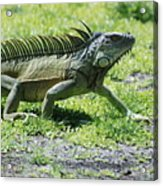 I Iguana Acrylic Print