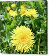 Yellow Dandelion Flowers Acrylic Print