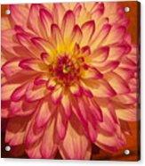 #928 D855 Dahlia Close Up Acrylic Print