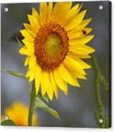 #933 D958 Best Of Friends Colby Farm Sunflowers Newbury Massachusetts Acrylic Print