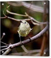 9343-00-ruby-crowned Kinglet Acrylic Print