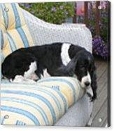 #940 D1061 Farmer Browns Springer Spaniel Acrylic Print