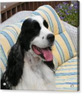 #940 D1066 Farmer Browns Springer Spaniel Happy Acrylic Print