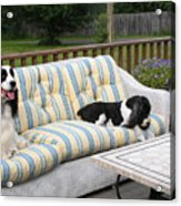 #940 D1094 Farmer Browns Springer Spaniel Together Acrylic Print