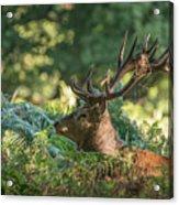 Majestic Powerful Red Deer Stag Cervus Elaphus In Forest Landsca Acrylic Print