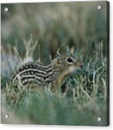 A 13-lined Ground Squirrel At The Henry Acrylic Print