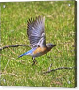 A Afternoon With Mr Blue Bird-4 Acrylic Print
