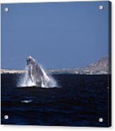 A Baby Humped Backed Whale Breeching In Banderous Bay Mexico Acrylic Print