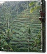 A Bahasa, Or Coconut Tree Climber Acrylic Print