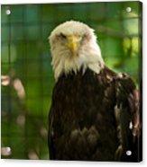 A Bald Eagle At The Lincoln Zoo Acrylic Print