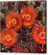 A Barrel Cactus Is Blooming Acrylic Print