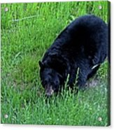 A Bear Over There Acrylic Print