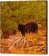 A Bear Staring At Something Acrylic Print