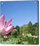 A Beautiful Emperor Lotus Blooms Acrylic Print
