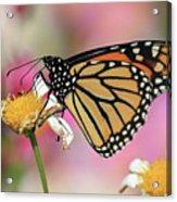 A Beautiful Monarch Acrylic Print