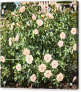 A Beautiful Rose Bush Castle Park 6 Acrylic Print