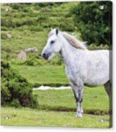A Beautiful White Dartmoor Pony, Devon, England Acrylic Print