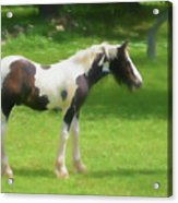 A Beautiful Young Gypsy Vanner Standing In The Pasture Acrylic Print